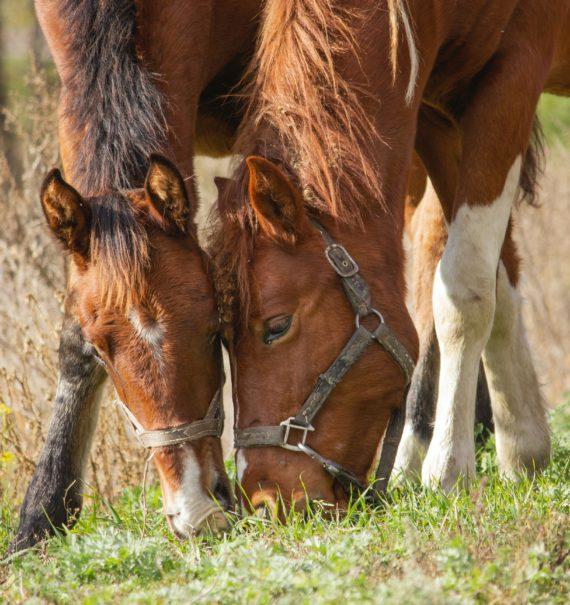 Pferdefütterung-Futtermittel-Pferd